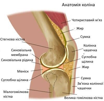 anatomia_kolina_ukr