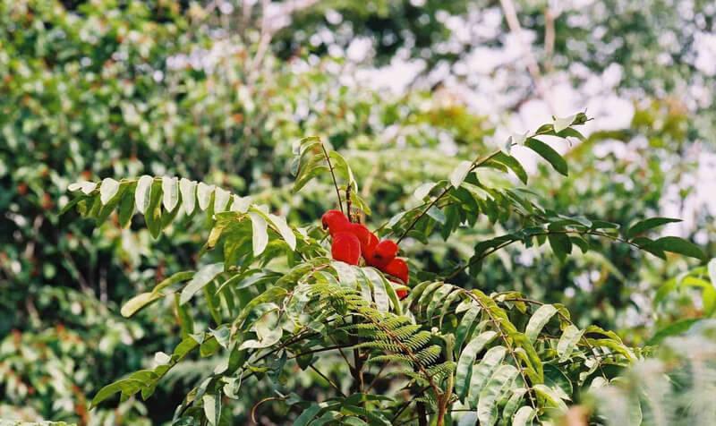 дерево Борутуту
