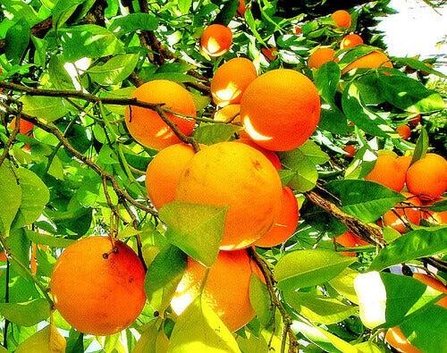 Дивовижні властивості та використання апельсинів