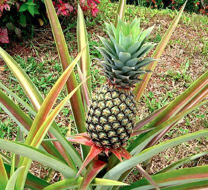 ananas-6