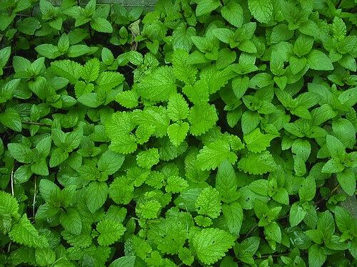листя мяти як засіб для лікування варикозу