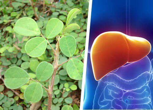 Ця рослина відновить печінку