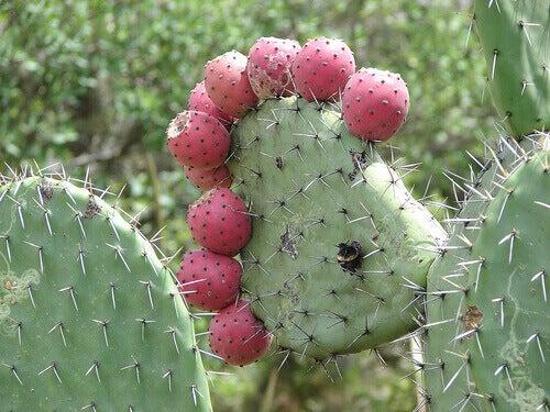 зелене стебло кактуса з плодами