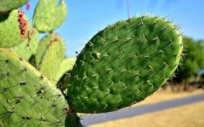 Цілющі властивості мексиканського кактуса