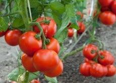 1-pomidory
