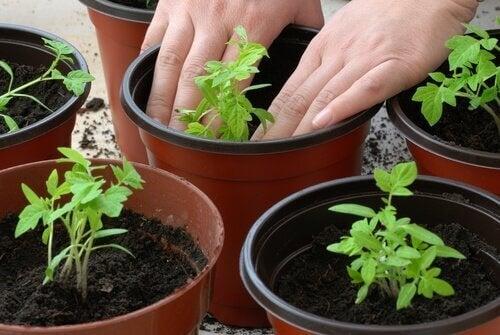 4-pomidory-rozsada