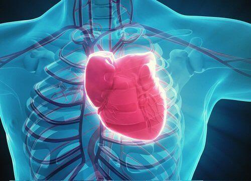 серце у тілі людини