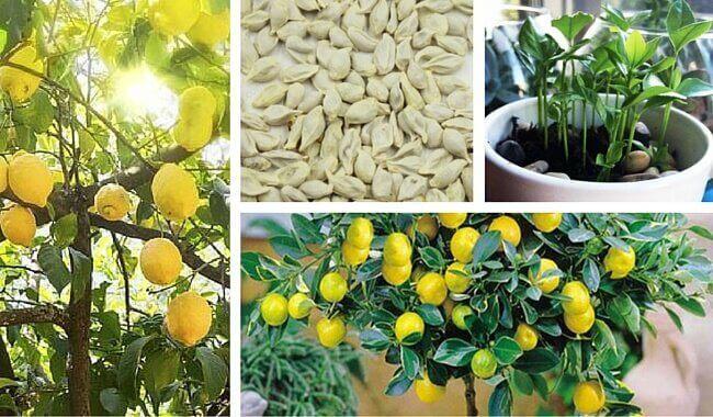 Як проростає насіння лимону в домашніх умовах
