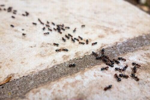 6 засобів без хімікатів від мурах