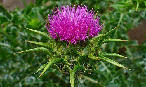 Трави, що захисту печінки
