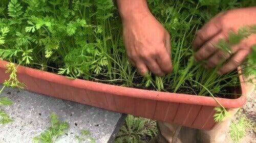 морква росте