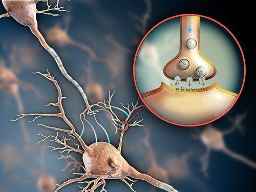 принцип передачі сигналів по нервовій системі - нервові синапси