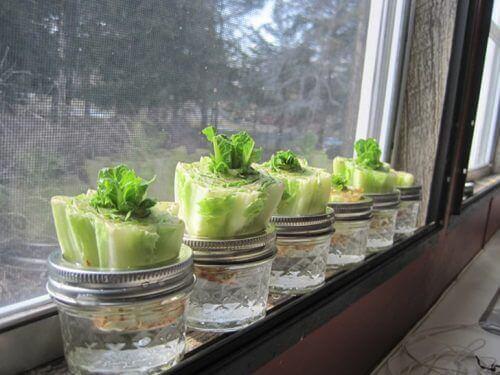 вирощення салатів