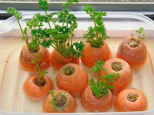 вирощення моркви