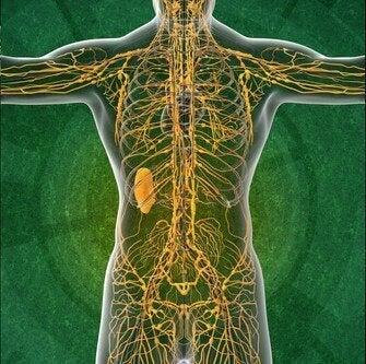 4 цікаві факти про лімфатичну систему людини