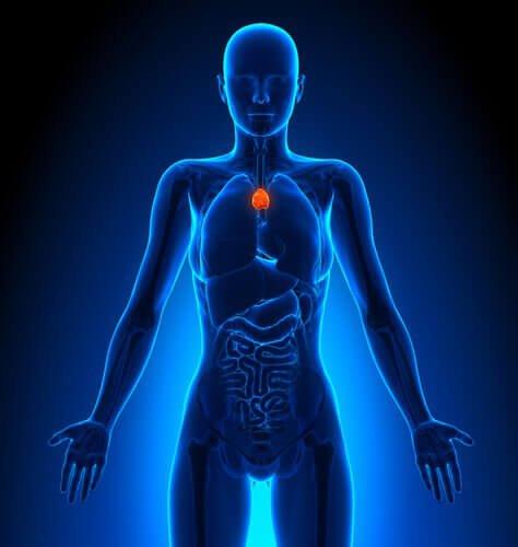 загрудинна залоза входить до лімфатичної системи