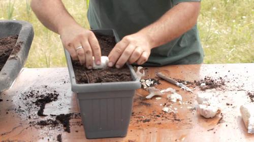 Як вирощувати часник вдома