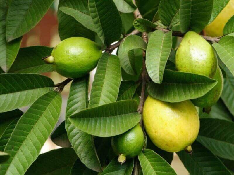 листя гуави від вагінального запаху