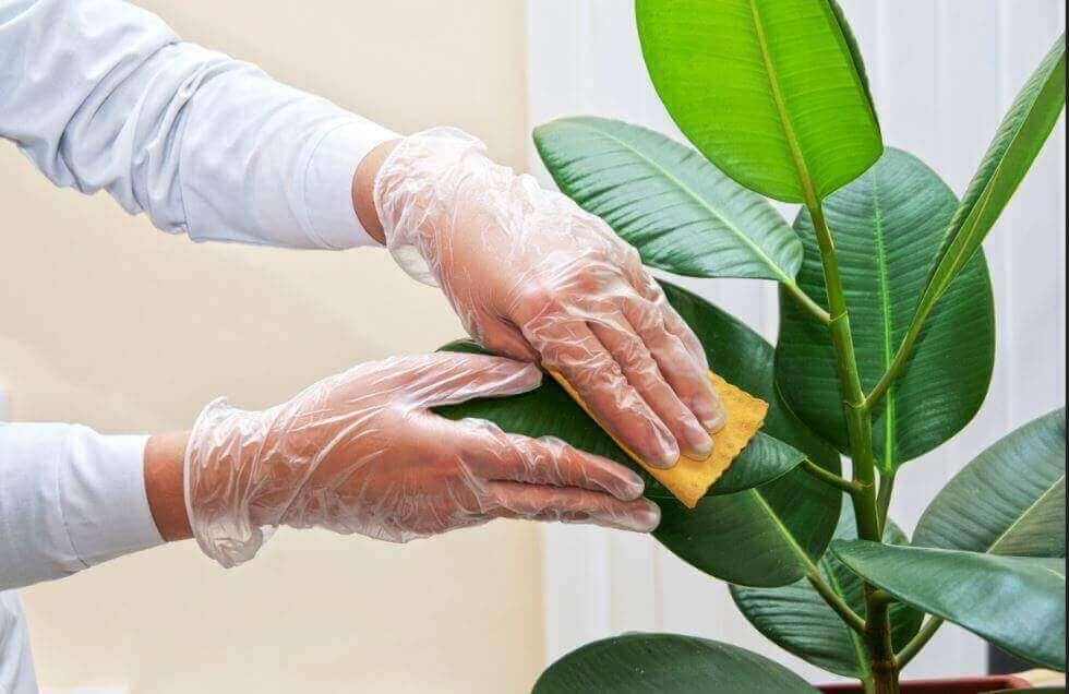 Як очищати листя кімнатних рослин