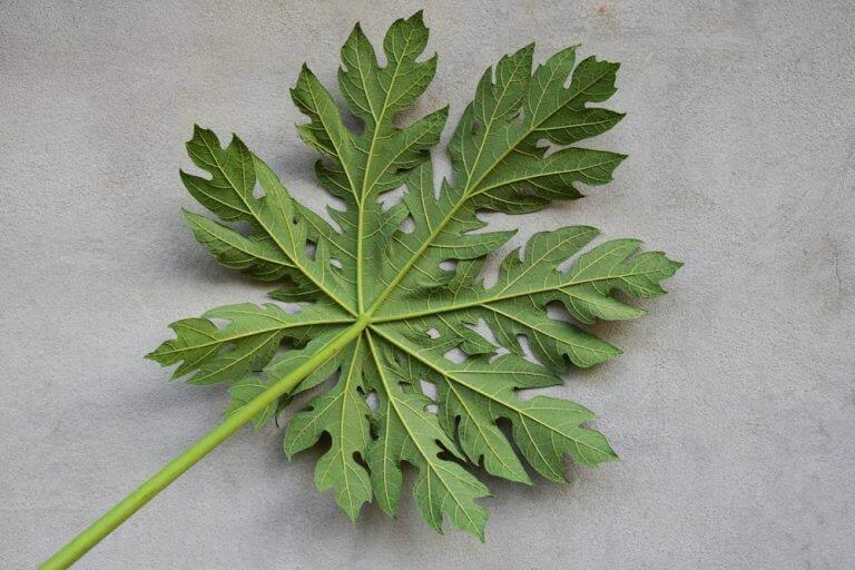 переваги папаї збільшують тромбоцити