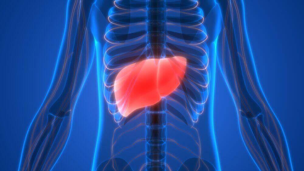 печінка у тілі людини