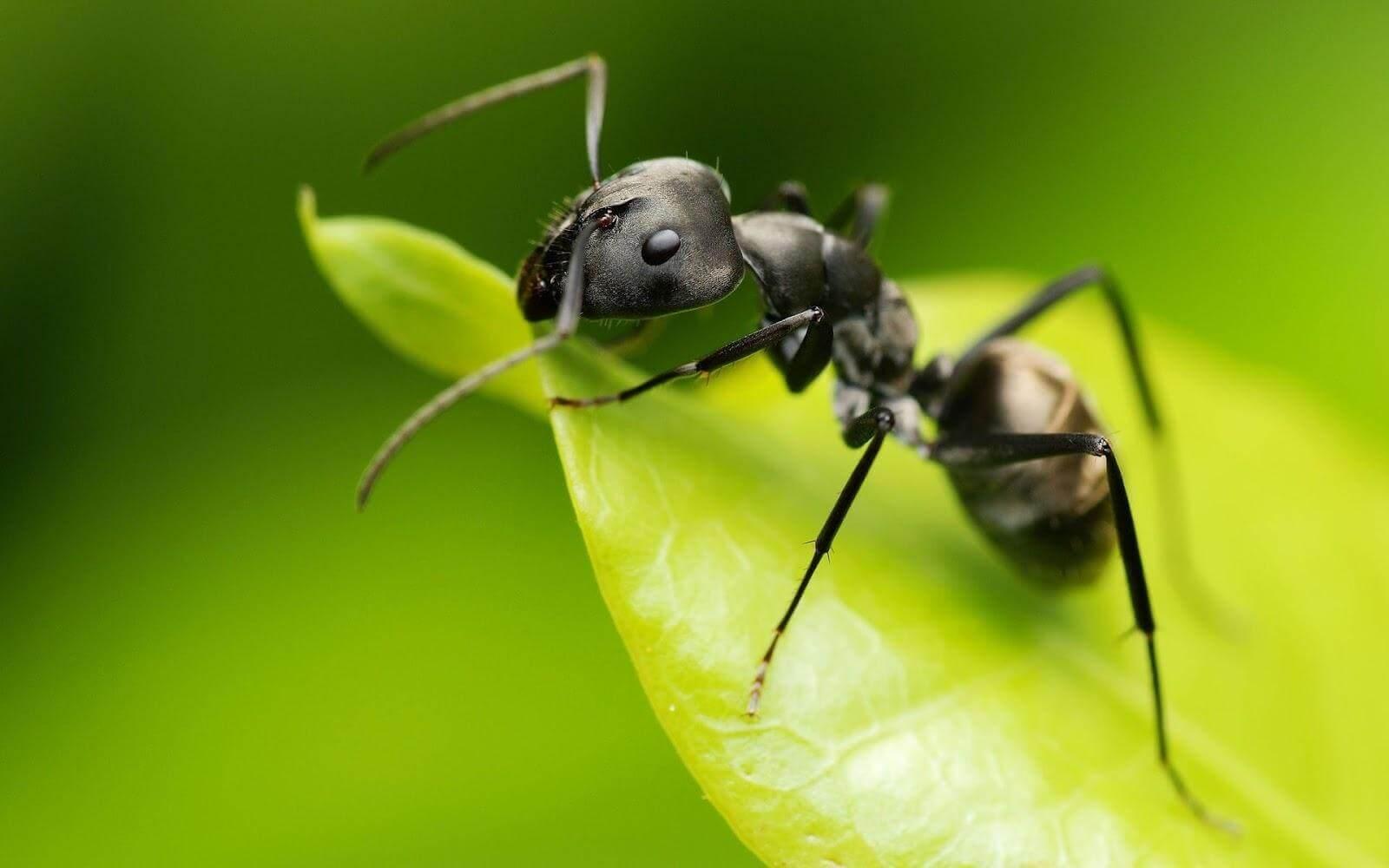 використання оцту в саду від мурах