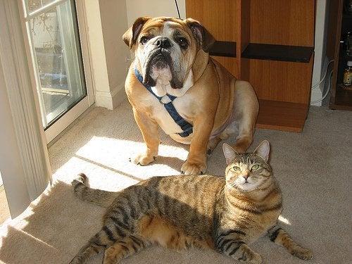 коти та собаки як домашні тварини