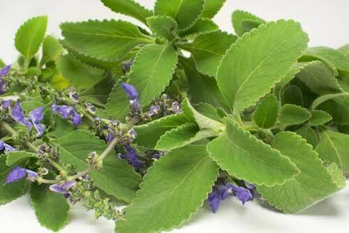 Чай з Болдо: засіб від інфекцій сечовивідних шляхів
