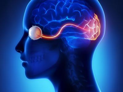 розвиток зорової частини головного мозку