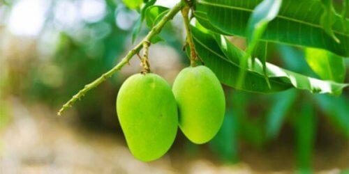 листя манго для регулювання рівня цукру у крові