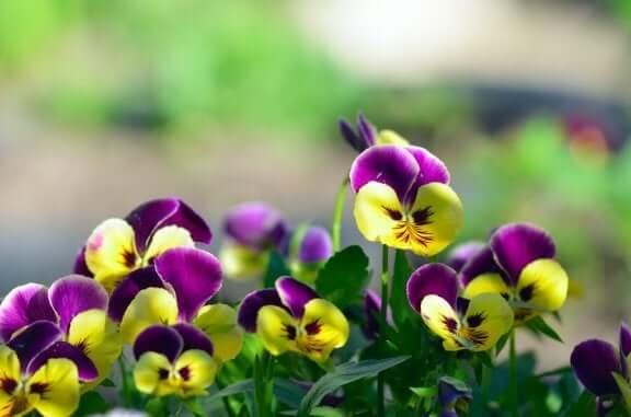 найкращі види квітів для балкона - братки