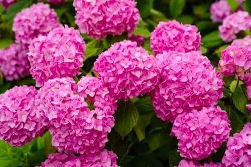 небезпечні рослини для дому