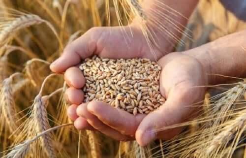 користь жита