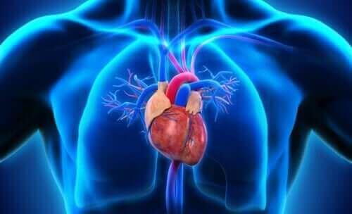 які є частини серця