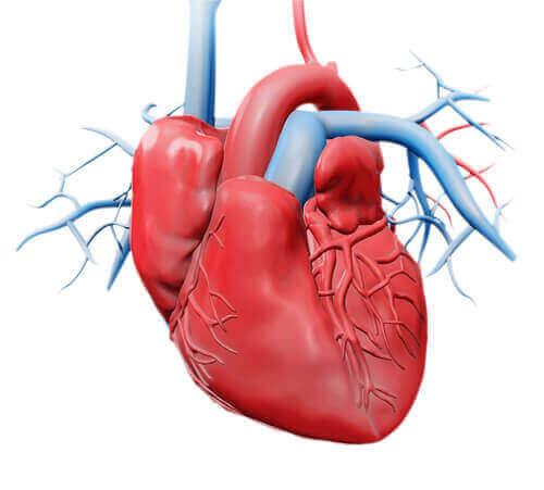 найменш відомі частини серця