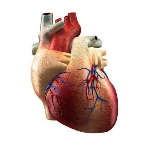 Частини серця та їхні функції