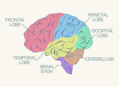 Які є долі мозку?