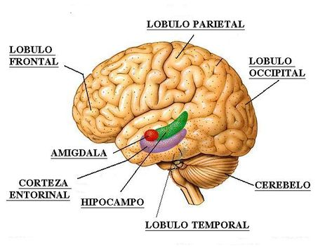які функції мають долі мозку