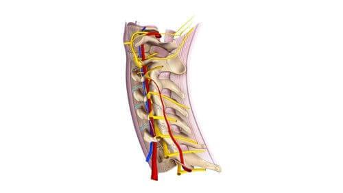 Шийні спинномозкові нерви: цікаві факти