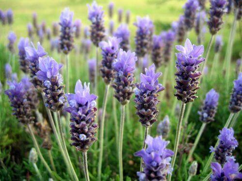 ароматні квіти для саду - лаванда