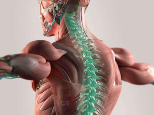 шийні спинномозкові нерви