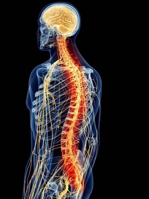 яка анатомія м'язів спини